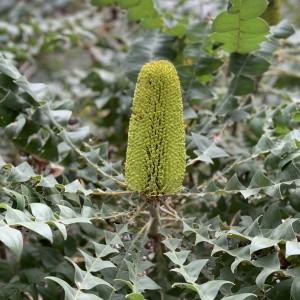 slender banksia flower
